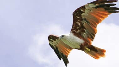 Red Kite flying with wings spread